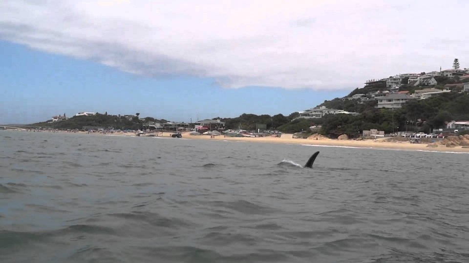 Kayaking with an Orca in Plett