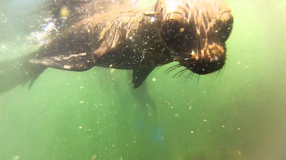 Seal Snorkel