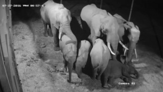 Elephants sleeping at Plett Game Reserve