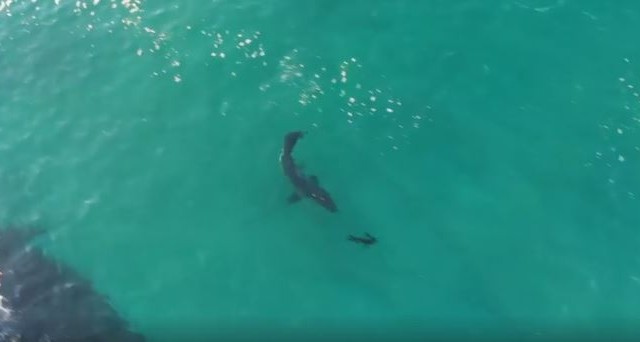 Great white sharks hunting seals off Robberg