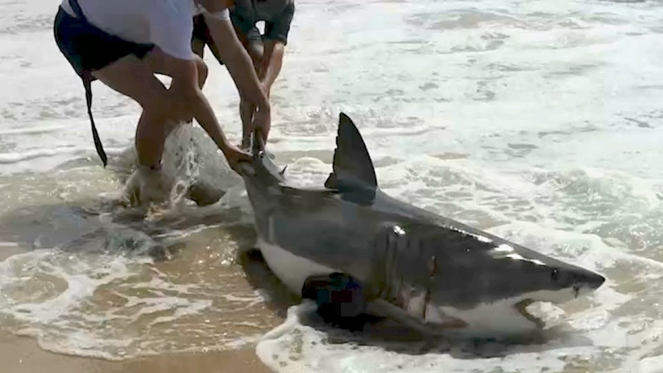 Great white shark rescued on Lookout beach in Plett