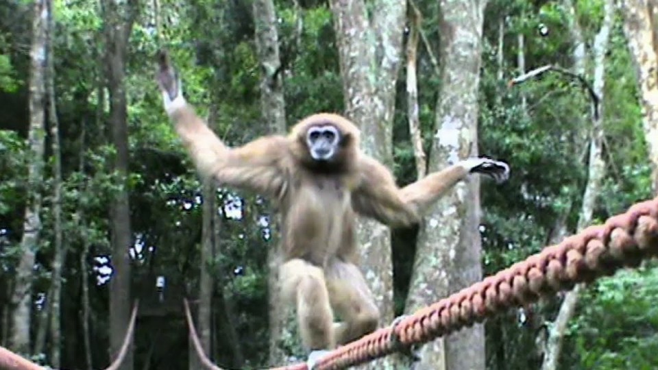 Funny gibbon tightrope walks across bridge in Plett