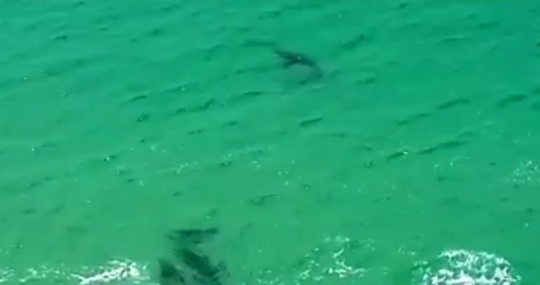 Seals chase great white shark at Robberg