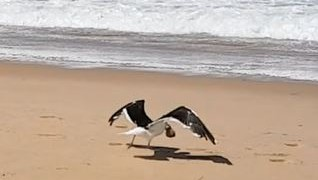 Video: Ingenious seagull opens red bait pod
