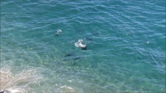 Great white shark v seals in Plett