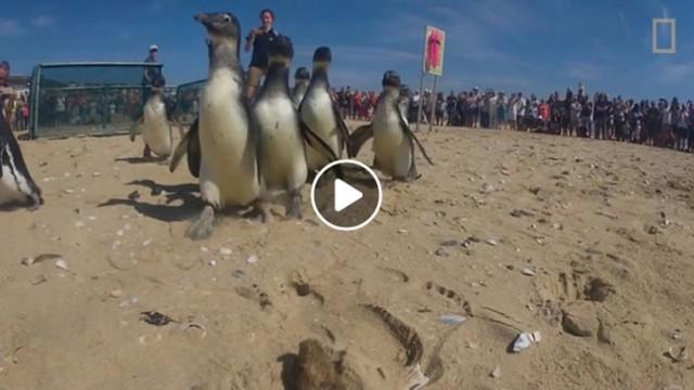 Plett penguin release